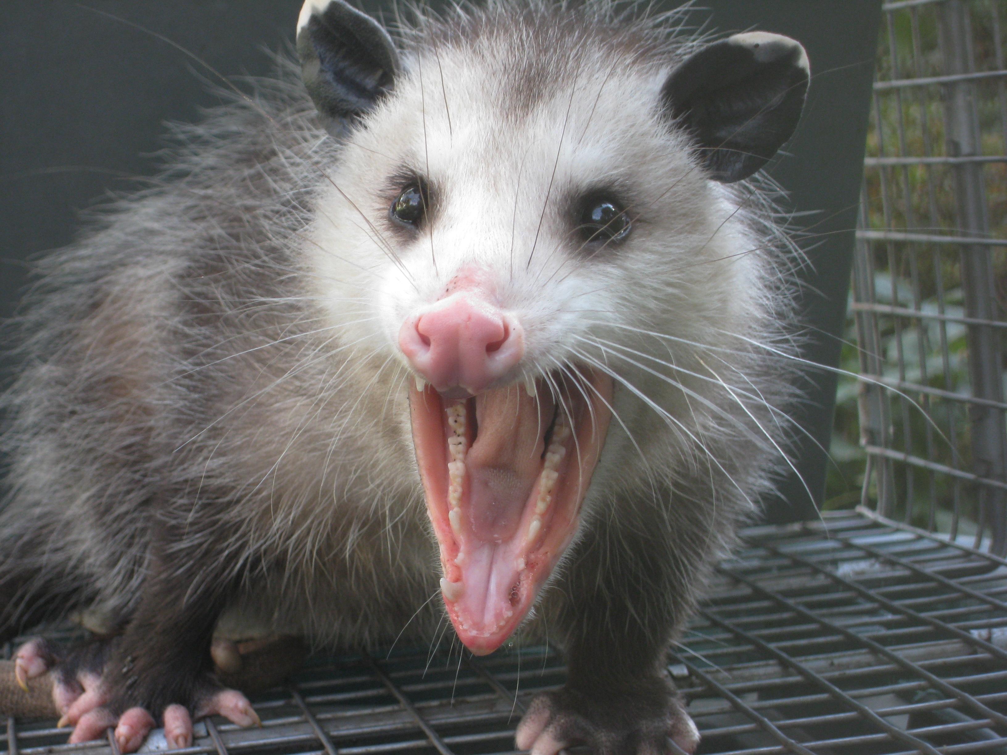 https://pophaydn.files.wordpress.com/2011/10/opossum1.jpg